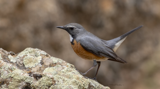 Taşbülbülü / White Throated Robin