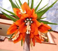 Lale (tulipa)