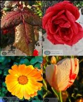 İlk Çiçekler.