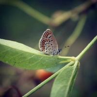 Kelebek Aşkı