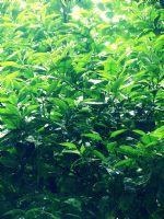 Yağmurlu Bir Günde Portakal Ağacı..