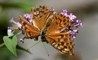 Kelebek Makro(kaçkarlar)_35