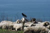 Koyun Gibi Olmak