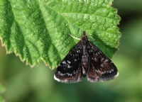 Simli Güve (heliothela Wulfeniana)