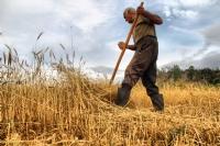 Tırpanla Buğday Biçiyor