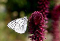 Alıç Beyazı (aporia Crataegi)