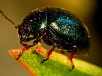 Parlakböcek