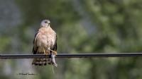 Yaz Atmacası / Levant Sparrowhawk