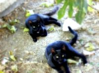 Kedi Taklidi Yapan Jaguarlar :)