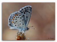 Himalaya Mavi Kelebeği