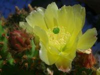 Kaktüs Çiçeği....