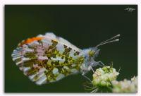 Turuncu Süslü Kelebek-3