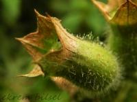 Küçük Yeşil Meşe Palamudu