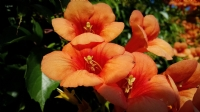 Durdabak Çiçeği