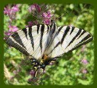 Kelebekler Sonsuza Uçar