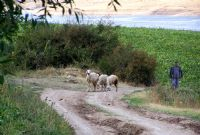 Çoban