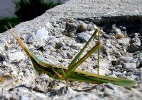Çekirgeler, Hamam Böcekleri Ve  Peygamber Develeri (orthoptera)