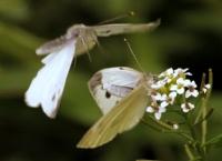 Kelebeklerin Dansı