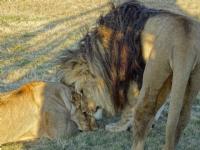 Güney Afrika-aslanlar