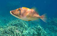 Picasso Balığı