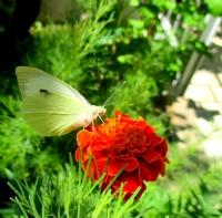 Kelebek Ve Çiçek, Dodurga
