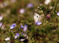 Saklı Kelebek