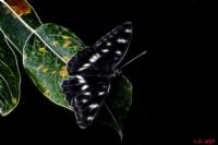 Dijital Kelebek