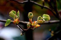 Kestane Ağacı Çiçeği