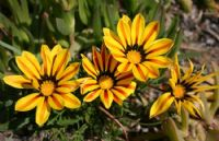 Güneş Çiçeği