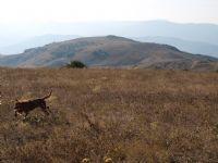 Avcı Köpeği