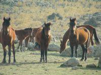 Özgür Atlar.