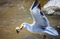 İnci Kefal Balığı Ve Martı