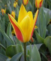 Tulipa Clusiana (hanım Lalesi)*