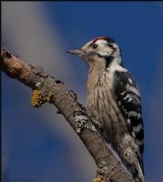Küçük Ağaçkakan Lesser Spotted Woodpecker / Dendro