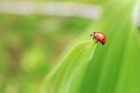 Uğurlu Böcek