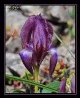 Hüzünlü Kır Çiçeği