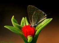 Kelebek..