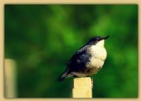 Dere Kuşu