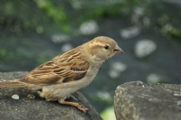 Kuşuçuşu