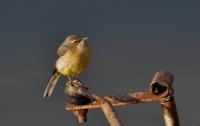 Sarı Kuyruksallayan