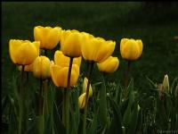 Sarı Laleler