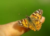 Parmak Kelebeği