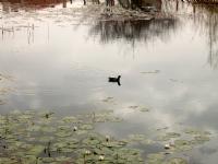 Nilüferler Ve Ördek