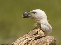 Kızıl Akbaba ..Griffon Vulture .. Gyps Fulvus