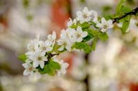 Erik Çiçekleri