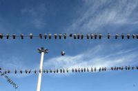 Güvercinler İştimada