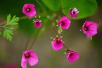 Yonca Çiçekleri Samsun