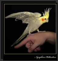 Sultan Papağanı (nymphicus Hollandicus)