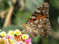 Diken Kelebeği(2)