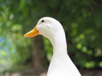 Beyaz Ördek